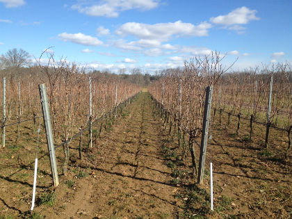The vineyards at Karamoor Farms in Whitemarsh, Pa. (Credit: Brad Segall)