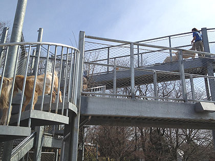 (Goats can climb stairs and traverse paths over the heads of zoo visitors.  Photo by John McDevitt)