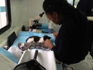 Kittens recover after surgery (photo by Molly Daly)