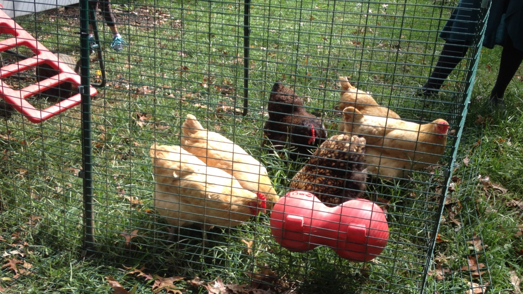 Delco Students Raising Chickens, Selling Egg – CBS Philly