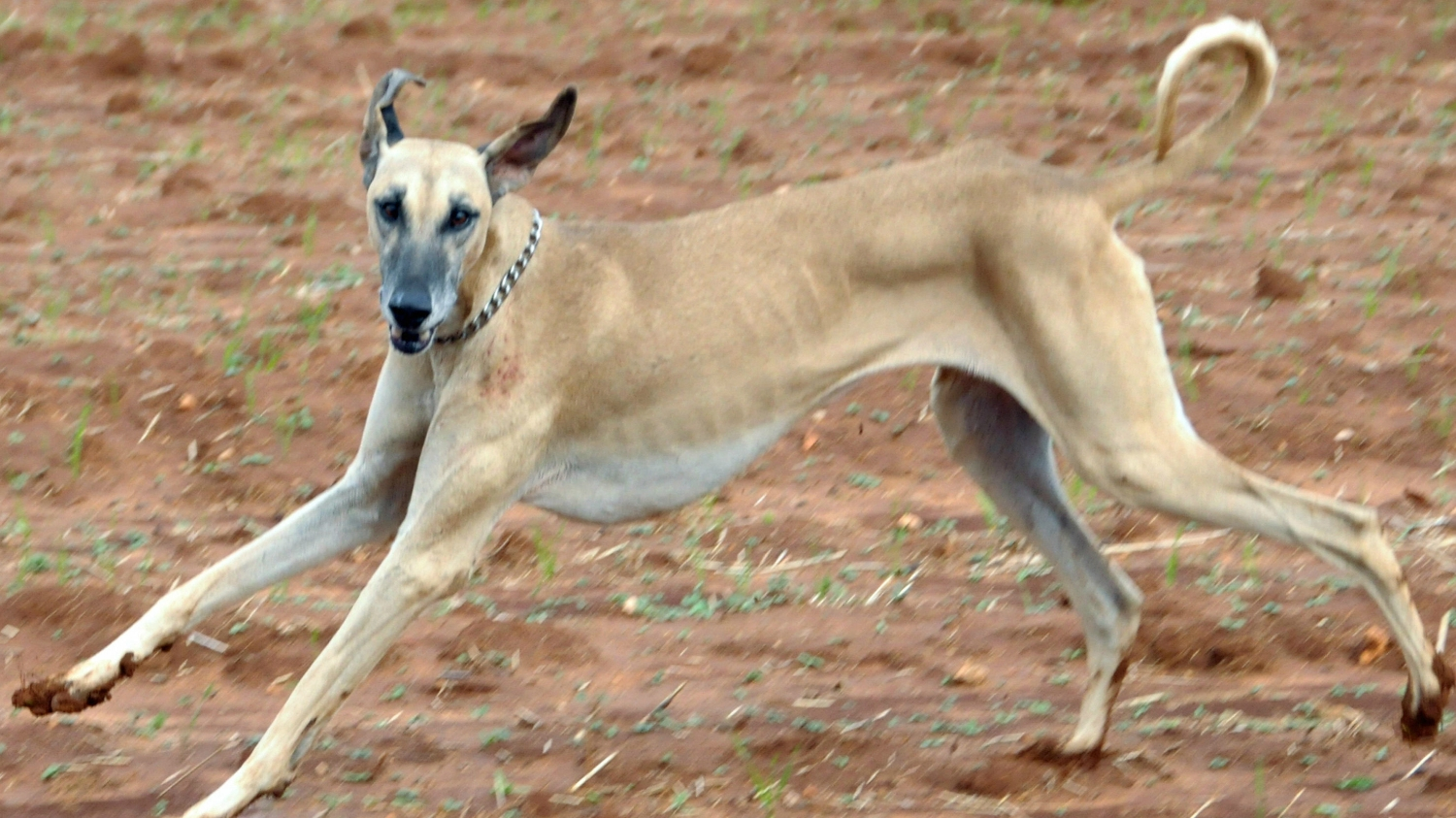 Two new dog breeds added to American Kennel Club roster