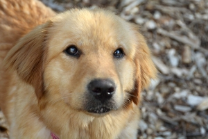 Golden Retriever, Joey is looking for a new home after being rescued from a Korean butcher. (credit: Camden County public affairs)
