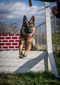 Nero is a German Shepherd who will serve the Norristown Police Department after graduating from Scent Detector School (credit: Tracy Darling)