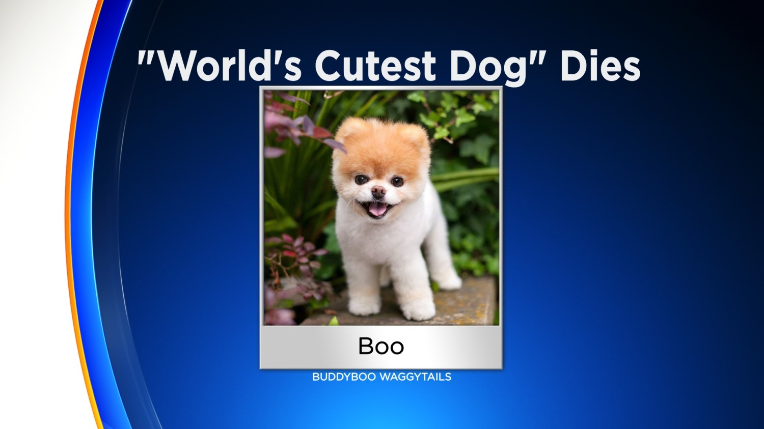 Boo Crowned The World S Cutest Dog Dies Of A Broken Heart At Age 12 Cbs Philly