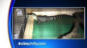 Alligator Found Among Numerous Amounts Of Drugs In Alleged Dealers' Chester County Home
