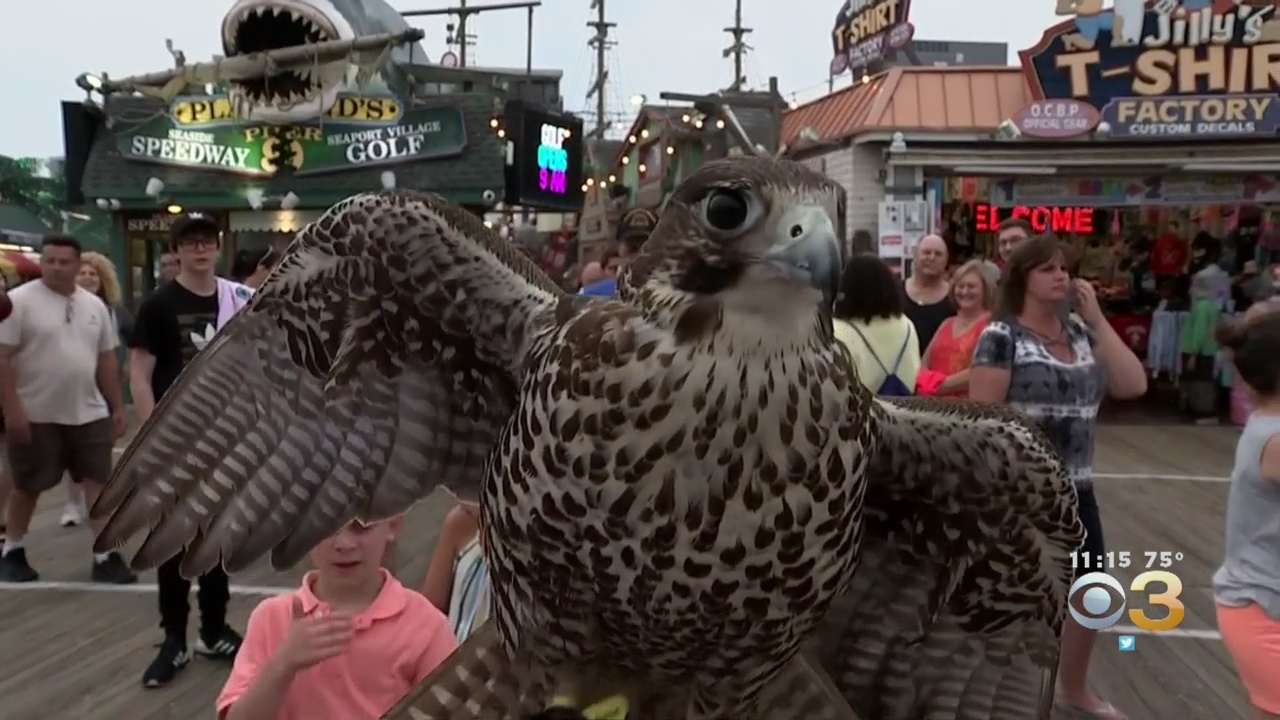 Ocean City Turns To Birds Of Prey To Chase 'Aggressive
