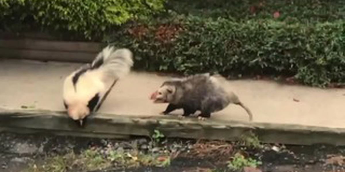 WATCH: Skunk And Opossum Caught On Video Fighting In Broad Daylight In Wilkes-Barre Township