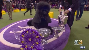 Standard Poodle From Northampton County Wins Best In Show At Westminster