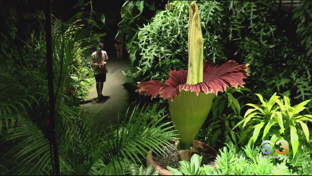 Watch Corpse Flower In Bloom At Longwood Gardens For 48 Hours Cbs Philly