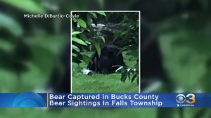 Bear Captured In Bucks County After Several Sightings In Area