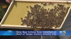 New Bee Colony Installed On Roof Of Tanger Outlets Atlantic City