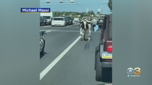 WATCH: Escaped Bull Makes Its Way Through Traffic In Hilltown Township, Bucks County